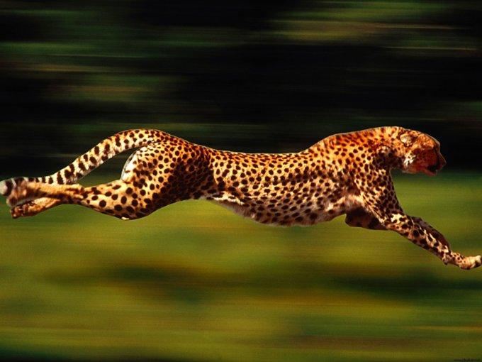6957404-running-cheetah.jpg